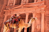 Camel against treasury — Stockfoto
