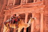 Camello contra hacienda — Foto de Stock