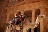 Camel against treasury — Stok fotoğraf