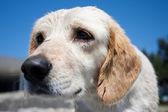 Sad puppy — Photo