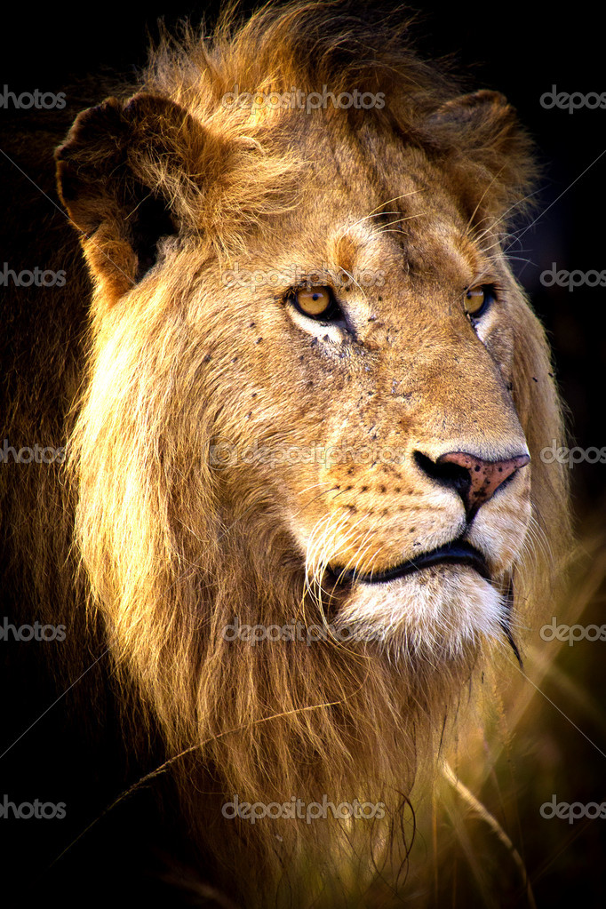 African Lion — Stock Photo #11376882