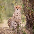 African Leopard — Stock Photo #11492803