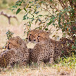 African Leopards — Stock Photo #11492823