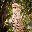 African Leopard — Stock Photo #11492839
