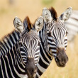 Zebras — Stock Photo #11493305
