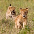 Running little lion cub — Stock Photo #11493325