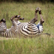 Rolling Zebra — Stock Photo