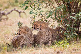 African Leopards — Stock Photo