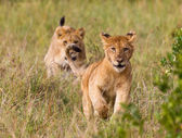 Running little lion cub — Stock Photo