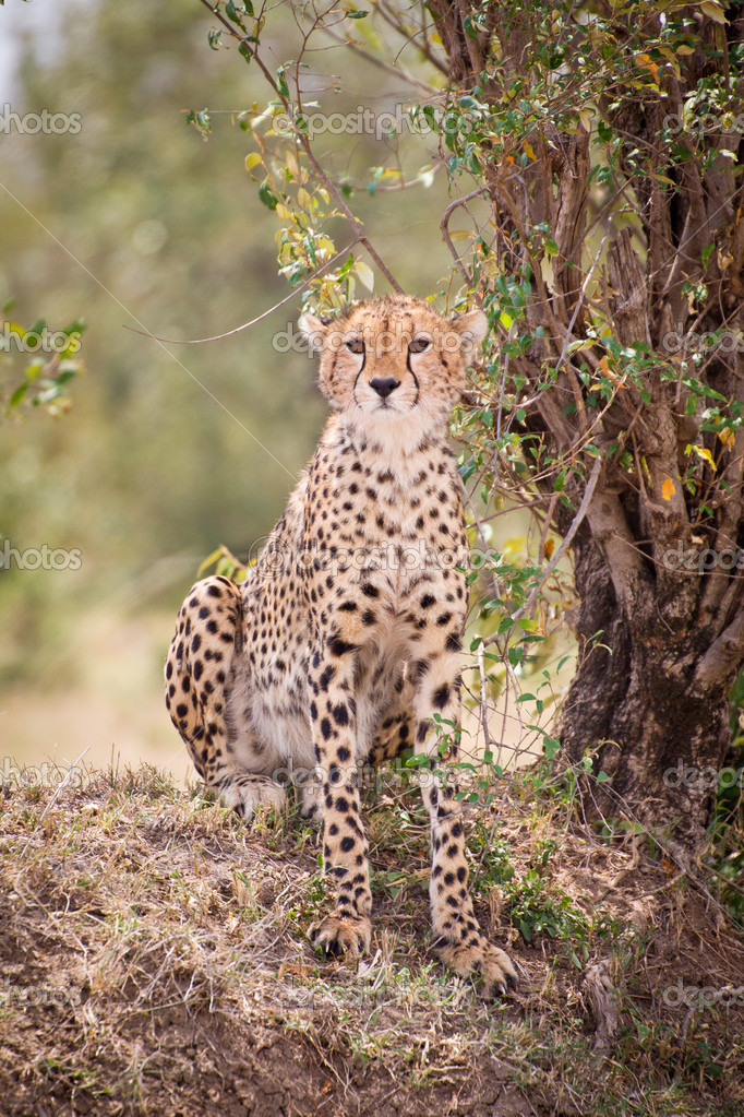 Leopard — Stock Photo #11492803