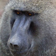 Baboon Portrait — Stock Photo