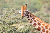 Giraffe is eating leaves — Stock Photo