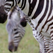 Mountain Zebra — Stock Photo