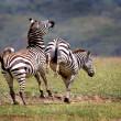 Fighting Mountain Zebras — Stock Photo