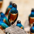 Superb Starling Bird in Serengeti, Africa — Stock Photo