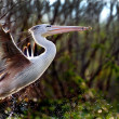 African Pelican - Stock Photo