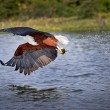 African Pelican — Stock Photo