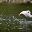 Stock Photo: Grey headed Gull