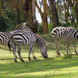 African zebras — Stock Photo
