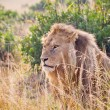 African Lion — Stock Photo #11614863