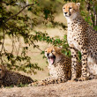 African Leopards - Stock Photo