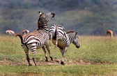 Fighting Mountain Zebras — Stock Photo