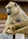 Monkey family portrait — Stock Photo