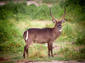 African Antelope — Stock Photo