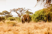 African Elephant — Stock Photo