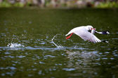 Grijze headed gull — Stockfoto