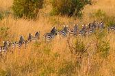 Zebra Herd — Stock Photo