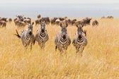 Zebra Herd — Stock Photo