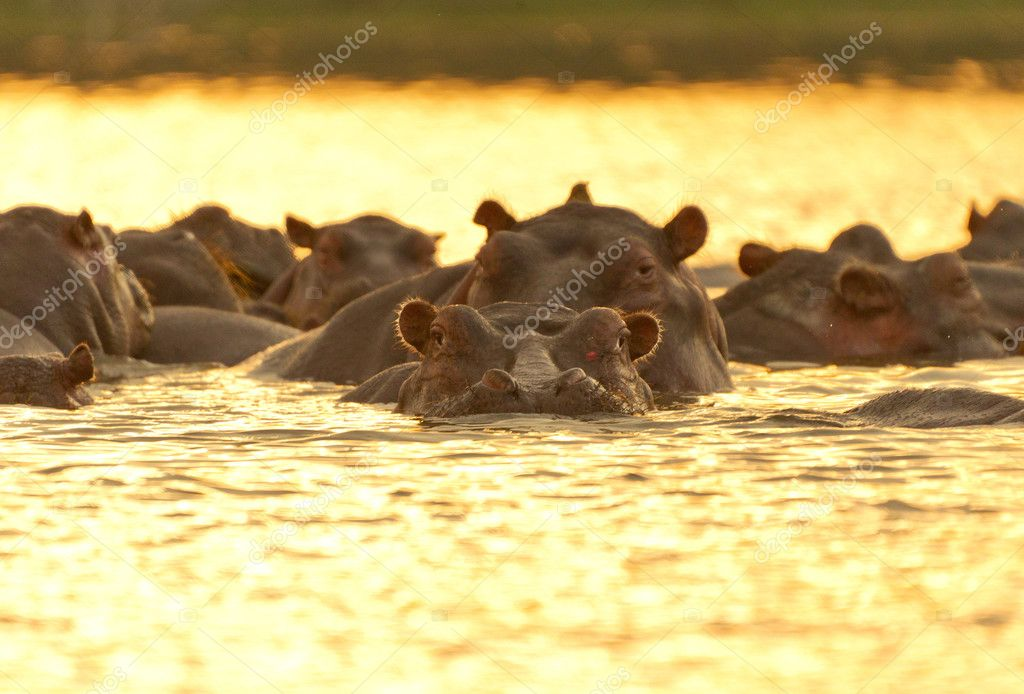 Hippos under sunset  Stock Photo #11614732