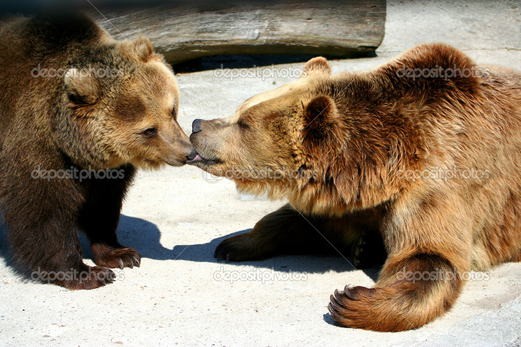 Two bears kissing — Stock Photo #12343240