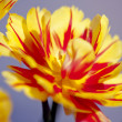 Opened Yellow and Red Tulip - Stock Photo