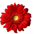 Red Gerbera Daisy on White - Stock Photo