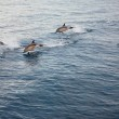 Several Dolphins Jumping — Stock Photo #11725375