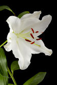 Vertical image of a white tulip — Stock Photo