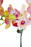 Orchid with unopened bud — Stock Photo