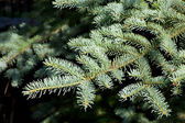 Pine close up — Stock Photo