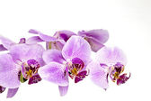 Purple orchid branch — Stock Photo