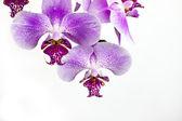 Simple clean orchid arrangement — Stock Photo