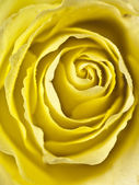 Tight shot of a yellow rose centre — Stock Photo