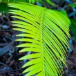 Walkway fern — Stock Photo