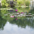 Water lily in pond — Stock Photo