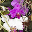 White and purple orchids — Stock Photo