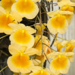 Stock Photo: Yellow orchids