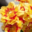 Horizontal Tulips — Stockfoto #11739440