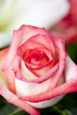 Vertical Pink Rose — Stockfoto