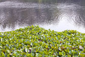Water lily on river — Stock Photo